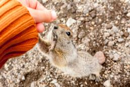 Arctic ground squirrel asking for food from human hands. Kamchatka. Credit: VittoriaChe.