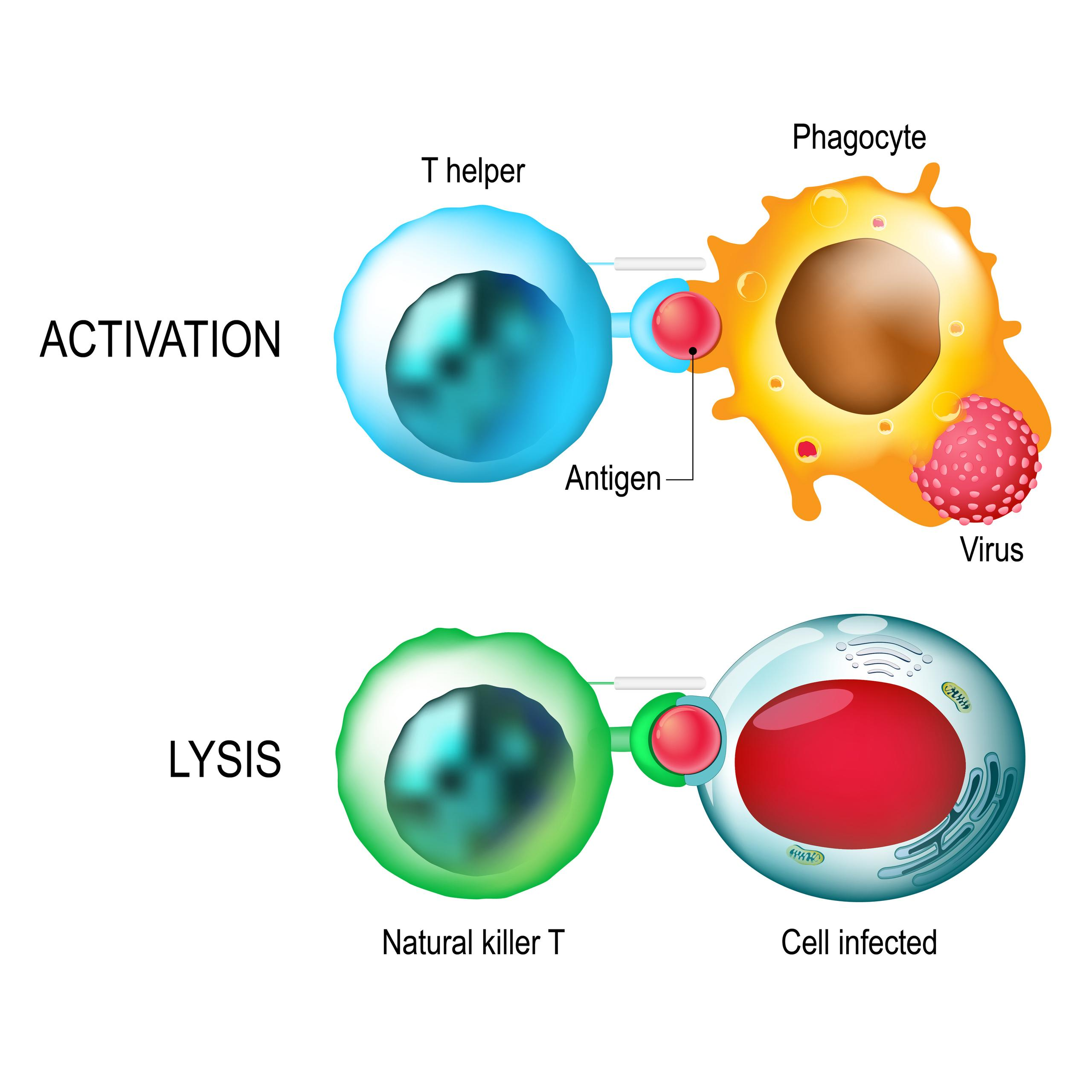 A T-cell encounters an antigen on the surface of an infected cell. T-cells direct and regulate immune responses and attack infected or cancerous cells.