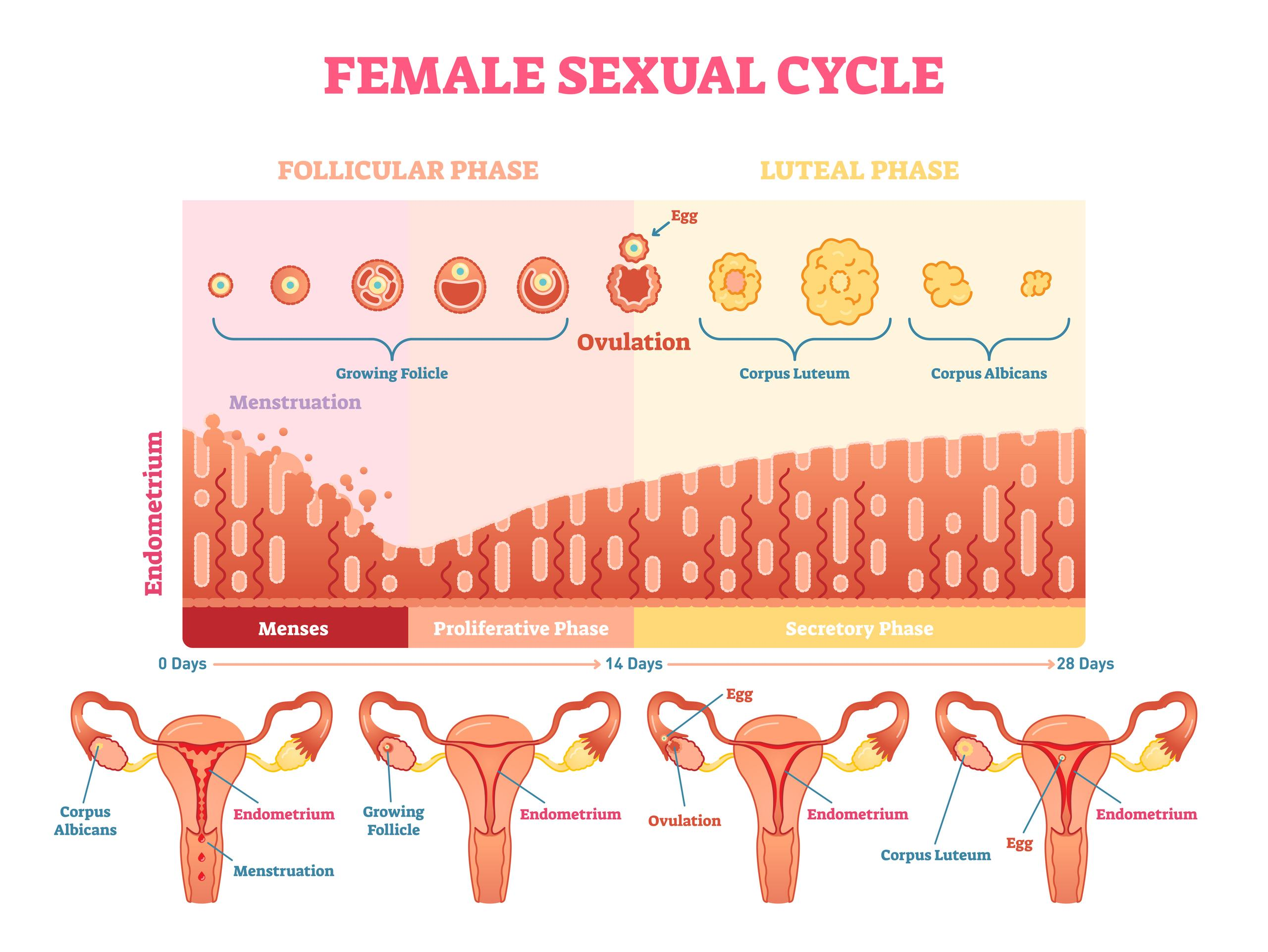 Female sexual cycle. Credit: normaals.