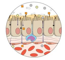 Human gut anatomy showing organization at cellular and molecular level mechanism, and interaction with bacteria in the human gut.