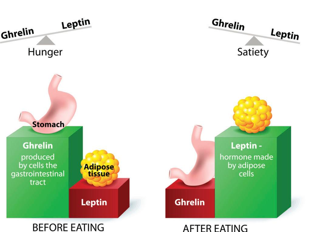 Ghrelin and leptin - hormones regulating appetite. Leptin the satiety hormone. Ghrelin the hunger hormone. When ghrelin levels are high, we feel hungry. After we eat, ghrelin levels fall and we feel satisfied. Credit: ttsz.