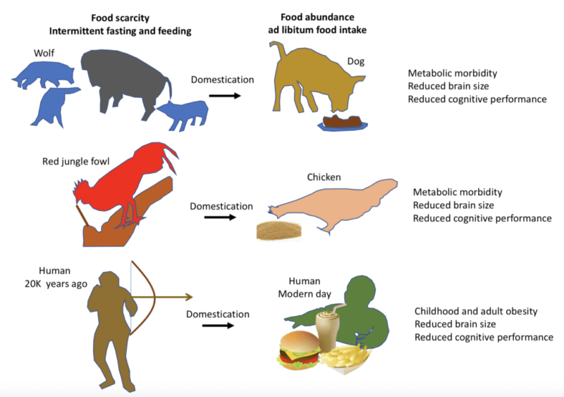 Illustration of an evolutionary perspective on adverse effects of food overabundance, by Mark Mattson.