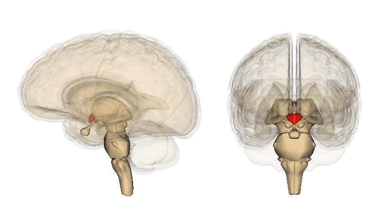 The Hypothalamus (in red). Credit: Life Science Databases (LSDB).