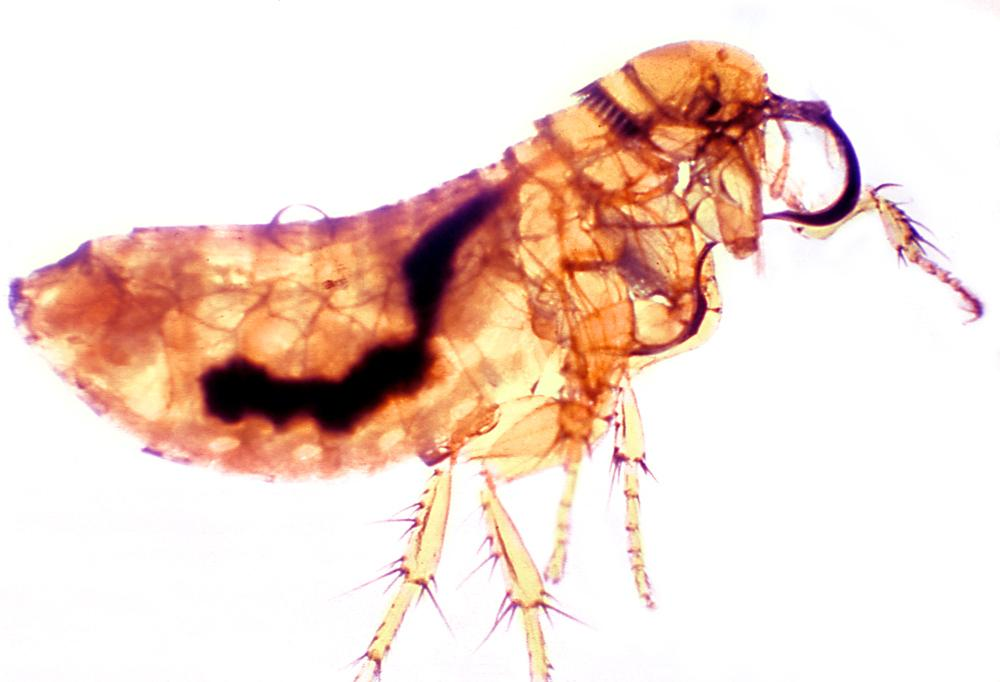 Flea 41 days after infection with P. pestis. Thrassis bacci, is one of the primary rodent flea vectors of plague to humans. Credit: CDC.