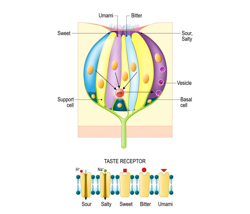 Taste bud with receptor cells. The diagram above depicts the signal transduction pathway of the different taste receptors.
